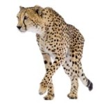 cheetah180