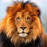 lion-013